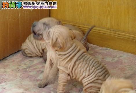 肉乎乎憨厚纯种沙皮犬宠物狗狗保纯种健康
