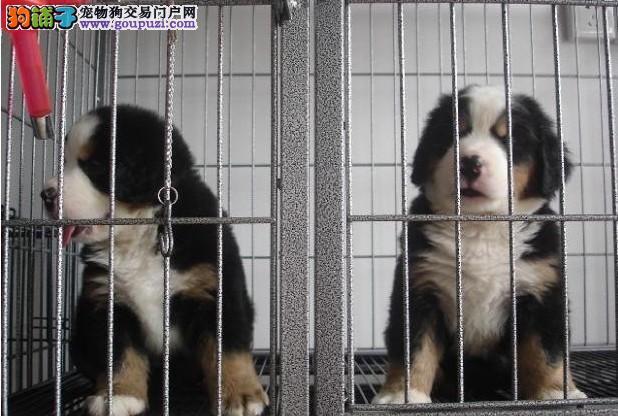 德国威玛猎犬 英国波音达指示犬 卡斯罗伯恩山犬