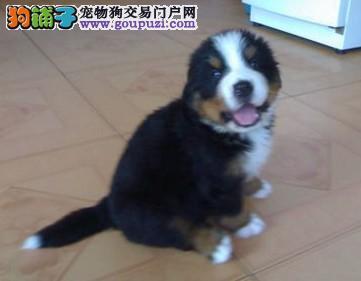 体型健壮性格温顺 忠实伴侣犬伯恩山犬出售