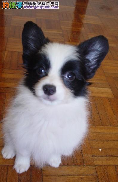 赛级品相西安蝴蝶犬幼犬低价出售我们承诺终身免费售后