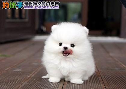 纯种活泼可爱赛级哈多利球体博美犬 终身包纯包健康