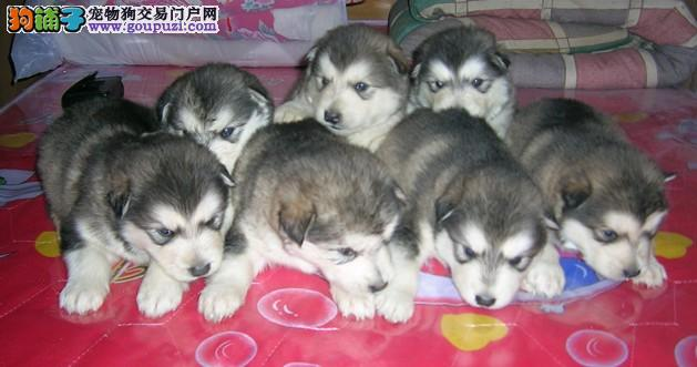 养犬场常年出售纯种阿拉斯加2000(已做疫苗、驱虫)