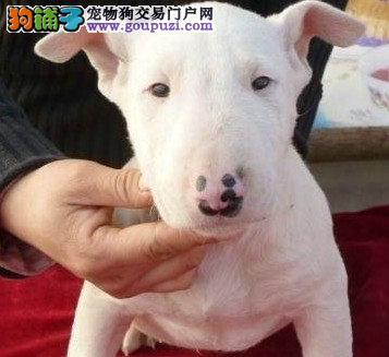 牛头梗幼犬出售中、打完疫苗证书齐全、签订终身合同