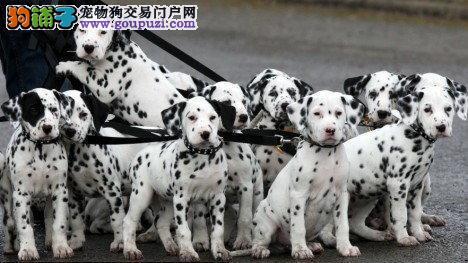 鸿福犬业出优质纯种达尔马提亚斑点品相好上门任意挑选