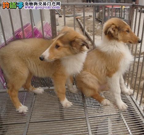 出售纯种宠物狗苏格兰牧羊犬血统纯正包健康疫苗