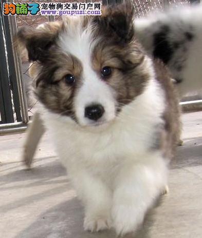 纯种喜乐蒂价格 纯种喜乐蒂哪里有 中小型犬
