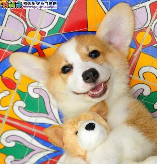 赛级柯基幼犬、专业繁殖宝宝健康、微信咨询看狗