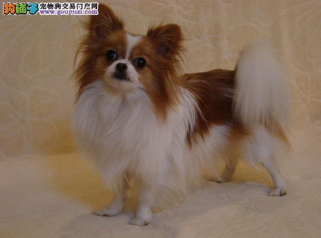 纯种蝴蝶犬出售黑白色黄白花色多只挑选包健康