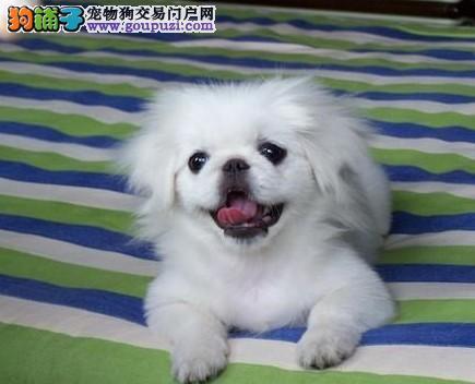 纯种京巴宝宝长春地区找主人微信看狗真实照片包纯