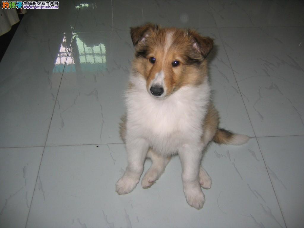 精品苏牧幼犬/实物拍摄/纯种健康质保三年可签协议