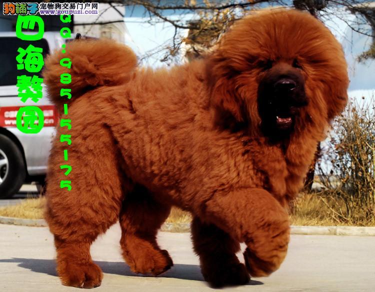 宁夏/出售高品质红藏獒 纯种大狮子头藏獒 保证健康[两个月公母全有]