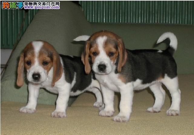 西城自家狗场繁殖直销比格犬幼犬签署各项质保合同