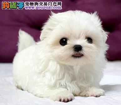 出售纯种马尔济斯犬 世界最漂亮宠物狗马尔济斯幼犬
