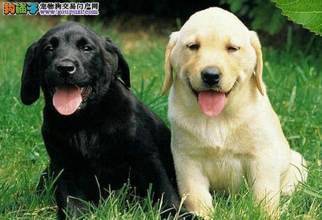 赛级拉布拉多 拉布拉多犬养殖基地 打完疫苗带证书芯片