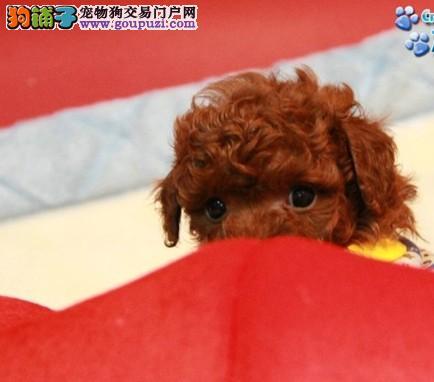 韩国引进茶杯泰迪 成犬1.5公斤 本地送狗上门挑选