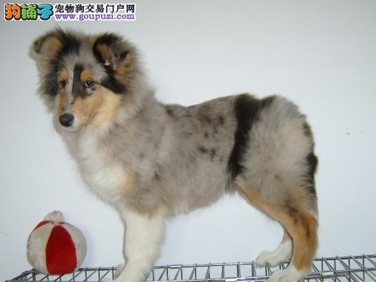 深圳最正规的狗场出售苏格兰牧羊犬/签合同