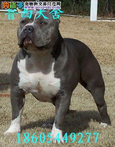 菏泽/标准马犬 格力犬 杜高犬比特犬[三个月公母全有]