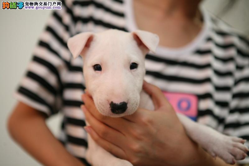 专业的牛头梗犬舍终身保健康赠送全套宠物用品