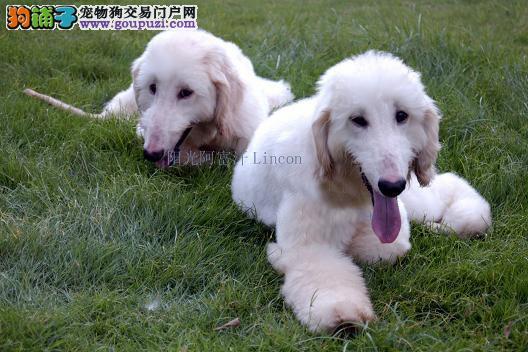 纯种阿富汗猎犬幼犬 阿富汗犬大毛量大骨架 健康灵活