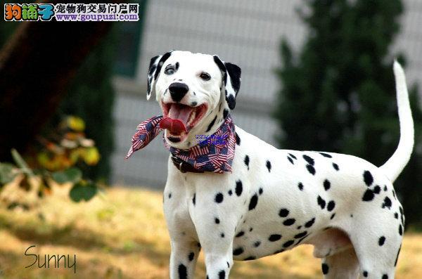顶级优秀的纯种斑点狗长沙热卖中喜欢加微信可签署协议