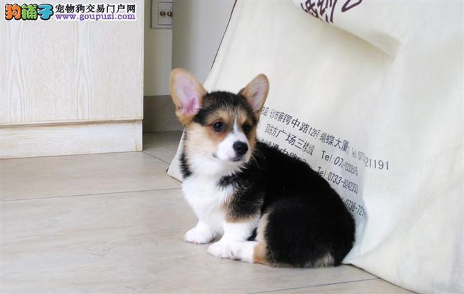 犬舍直销柯基宝宝 希望能够找到喜欢他的主人