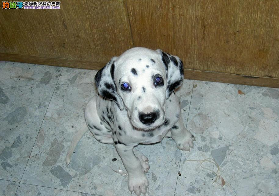 纯种斑点狗 FCI CKU永久注册犬舍 质量保证包血统健康