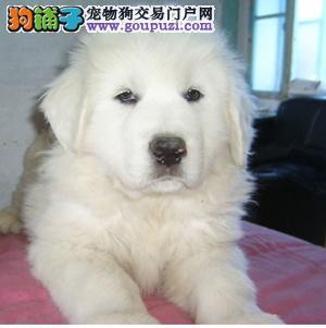 大型犬舍低价热卖极品大白熊微信咨询看狗狗照片