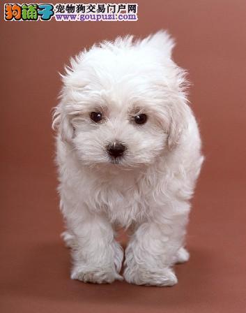 出售纯种西高地幼犬,保证健康!