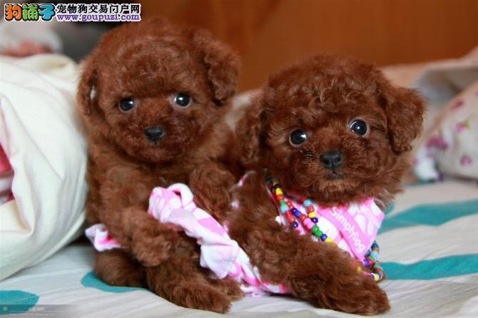 出售精品泰迪犬 欢迎来北京狗场直接挑选购买
