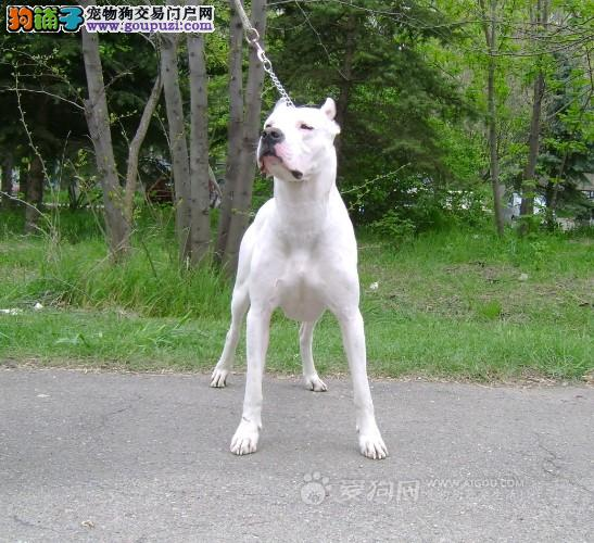 国内高档忠诚家庭伴侣犬杜高幼犬疫苗齐全