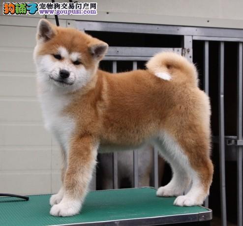家养日本纯种秋田犬 公母都有,毛足大骨架疫苗齐全