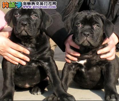 卡斯罗犬宝宝热销中,专业繁殖包质量,三包终生协议