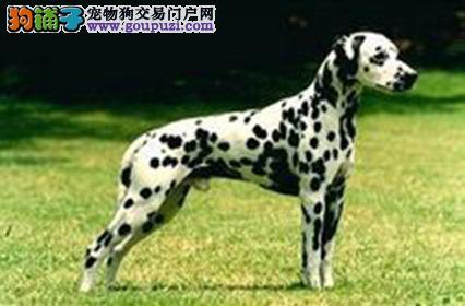 极品斑点狗出售、疫苗齐全包养活、三包终生协议