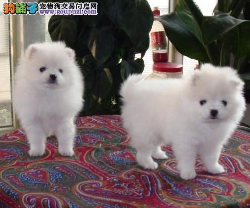 专业正规犬舍热卖优秀武汉银狐犬品质血统售后均有保障