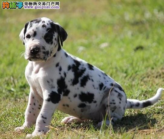 出售正宗血统优秀的包头斑点狗签订协议终身质保