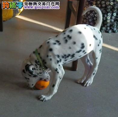 新乡本地出售高品质斑点狗宝宝可以送货上门