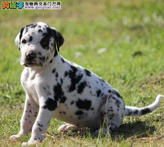 热销斑点狗颜色齐全可见父母爱狗人士优先狗贩勿扰