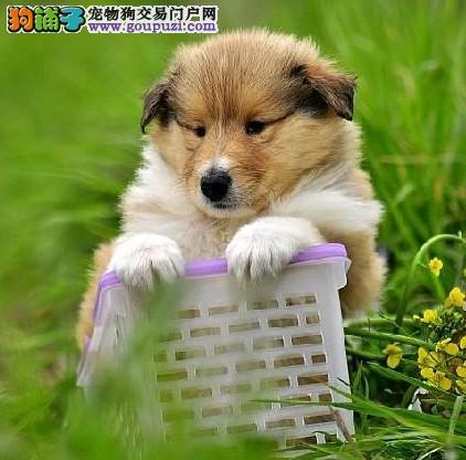 深圳哪里有卖苏牧犬 深圳苏牧犬照片