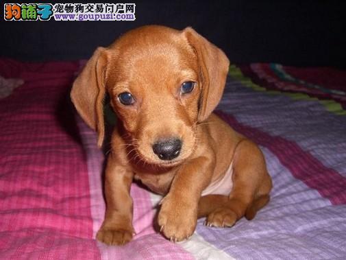 专业繁衍纯种俄系腊肠繁衍基地出售双冠纯种腊肠犬