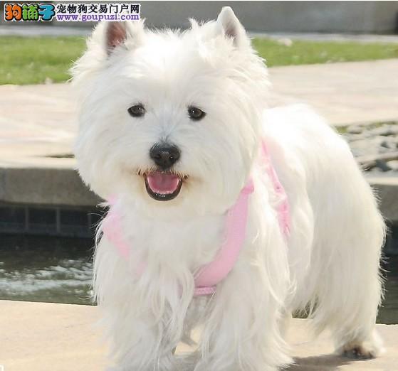 基地出售 三个半月纯种西高地幼犬保健康