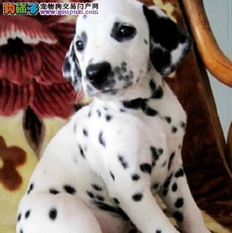 热销多只优秀的纯种贵阳斑点狗多种血统供选购