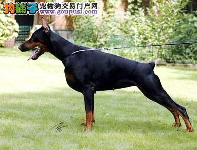 杜宾犬、德系杜宾犬、纯种杜宾幼犬出售支持实地选购