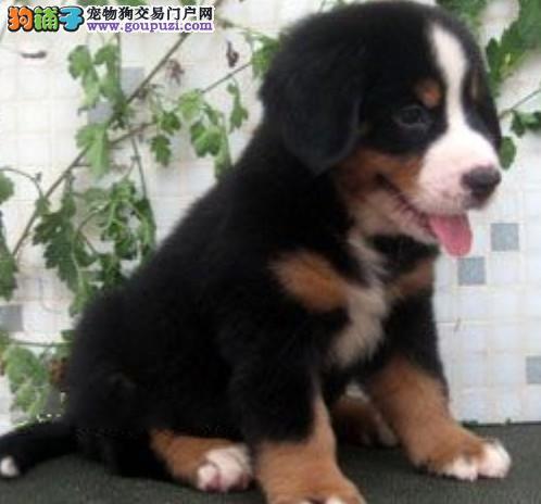 大型伯恩山宝宝多少钱尚佳超大型伯恩山犬温顺的狗狗