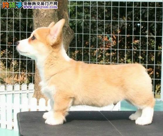 纯种威尔士柯基幼犬 包健康