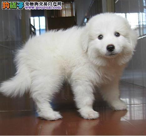 武汉繁殖基地出售多种颜色的大白熊狗贩子请勿扰