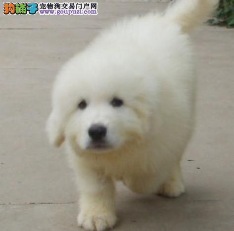 极品大白熊幼犬,体形均称、品质超好、质量终身保证