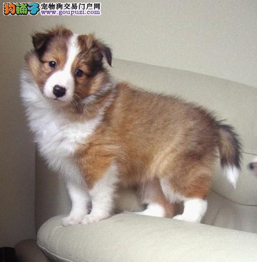 纯种犬繁殖基地售高品质苏牧幼犬三针齐质