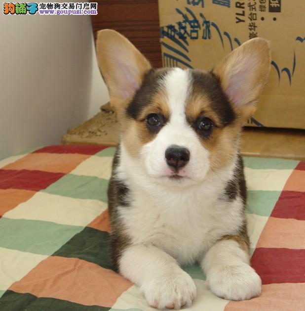 售柯基CKU血统纯种幼犬 公母都有打好疫苗包健康