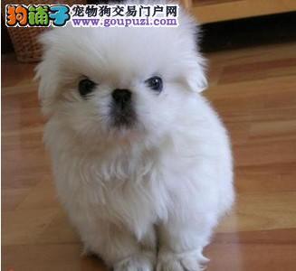 吐鲁番最大犬舍出售多种颜色京巴可签订活体销售协议