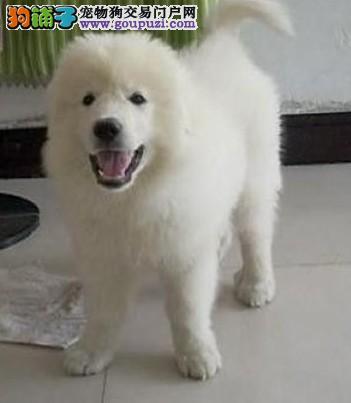 大型专业培育大白熊幼犬包健康微信看狗可见父母